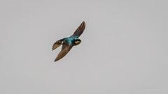 Tree Swallow (Bob Gunderson) Tags: birds boathouse california lakemerced northerncalifornia sanfrancisco swallows tachycinetabicolor treeswallows