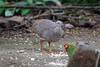 Pale-browed Tinamou (S.G.Davis) Tags: tumbesian endemic threatened scarce tinamou palebrowed