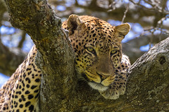 Male Leopard (Hector16) Tags: ndutu wildebeestmigration eastafrica tanzania serengeti migration wildlife nature shinyangaregion tz pantherapardus ngc