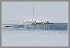 /// Gull Lake Group - II. \\\ (Wolverine09J ~ 1.5 Million Views) Tags: shadyoaklakewinternature18 ringbilledgulls avianwildlife resting surfaceice thawing lake minnesota latewinter openwater nature frameit~level01 frameit~level02 thelooklevel1red thelooklevel2yellow