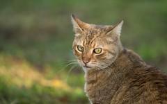 cat (21) (Vlado Ferenčić) Tags: catsdogs vladoferencic animals animalplanet vladimirferencic cats nikond600 hrvatska dof bokeh sigma15028macro closeup croatia novovirje medvedička podravina kitty