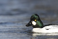 That cute face (Jeannine St-Amour Photography) Tags: bird waterfowl commongoldeneye nature wildlife