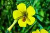 Oxalis pes-caprae (Miguel Sanchez Arteche) Tags: insectos fauna oxalis pescaprae flora flower chiclana