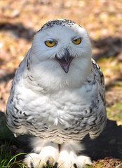 Snowy owl (Nina_Ali) Tags: avian snowyowl beak feathers owl nature 7dwf
