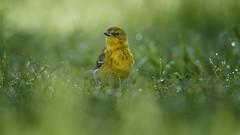 Pine Warbler (Tang Heng) Tags: