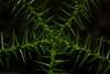 Hoop Pine (dustaway) Tags: rprr rotarypark rainforest araucariaceae araucariacunninghamii hooppine seedling growthpoint lismore nature northernrivers nsw australia