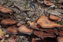 Brown Bracket Fungi (peterkelly) Tags: digital canon 6d ontarionature caledon ontario canada northamerica willoughbynaturereserve fall autumn log bracketfungus fungi brown bark leaf