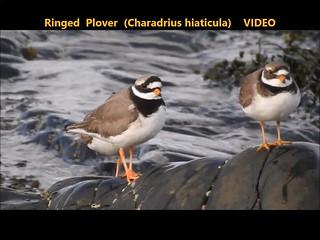 Ringed Plover (Charadrius hiaticula)   VIDEO