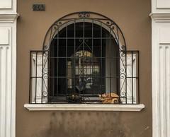 Catatonic (Roblawol) Tags: animals cats feline latinamerica lima miraflores peru pets reflection southamerica window