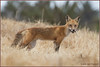 Urban Fox 2178 (maguire33@verizon.net) Tags: canid fox hunting parent parenthood redfox wildlife