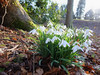 The last hurrah of the Snowdrops late march in Scotland (BB Perth) Tags: snowdrops wildflowers