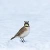 Alouette hausse-col  / Horned Lark (alainmaire71) Tags: bird alaudidae eremophilaalpestris alouettehaussecol hornedlark nature quebec canada