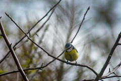 Blue Tit (jamesallen9) Tags: birdwatching bird wildlife nature feather tit animal yellow garden wild beautiful small tiny wing winged