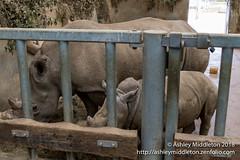 Rhinoceros (Ashley Middleton Photography) Tags: cotswolds rhinoceros england unitedkingdom mammal cotswoldwildlifepark europe rhino animal burford oxfordshire gb