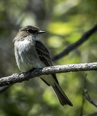 Eastern Phoebe- (peter57117) Tags: phoebe easternphoebe sayornisphoebe bird birds manitoba