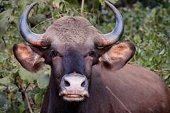 Indian Bison at Betla National Park (pallab seth) Tags: indianbison nature wild nationalpark gaur bull forest betla jharkhand imdia ature palamou india animal jeepsafari
