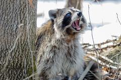 Raton laveur aux yeux bleus (anniebevilacqua) Tags: ratonlaveur raccoon arbre tree procyonlotor faunemontréal montrealwildlife blueeyedraccoon jardinbotaniquedemontréal
