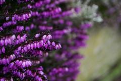 Feels like spring (zetakr) Tags: destination holidays vacations tywyn calm nikon landscape photography flower close up macro colours blur spring mood summer bloom purple beautiful pretty many