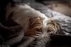 Sara. Hiding. 15/52 (Tõnno Paju) Tags: sara 52weeksfordogs jack russel terrier dog animal pet nikon nikkor