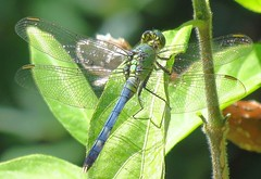 IMG_2239 Her Lesser Half 3-14-18 (arkansas traveler) Tags: dragonfly bichos bugs insects zoom telephoto nature naturewatcher natureartphotography