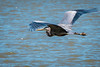 Great Blue Heron (Eeyore Photography) Tags: robertjacksonphotography greatblueheron wildlife bird eeyorephotography outdoor nikkor nikond750 nikkor200500mmf56 nikon