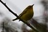 American Yellow Warbler (Setophaga petechia) (fuzzballmaster) Tags: costa rica san jose la sabana