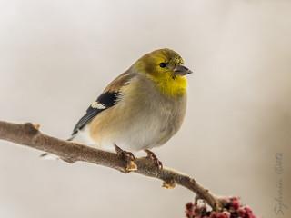Chardonneret jaune / American Goldfinch [Spinus tristis]