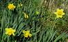 Narcisi (Eli.b.) Tags: narcisi primavera fiori flowers fleurs giallo yellow natura giardino erba
