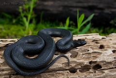 Glossy Crawfish/Swamp Snake. Southeast Louisiana, March 2018 (rman2013) Tags: