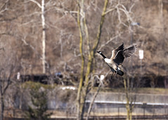 "Goose in flight 2 • <a style=""font-size:0.8em;"" href=""http://www.flickr.com/photos/30765416@N06/39938860025/"" target=""_blank"">View on Flickr</a>"