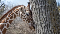 A passion for trees? (Pejasar) Tags: sedgwickcountryzoo wichita kansas bark zoosofnorthamerica tree mammal animal mammalgiraffe affection