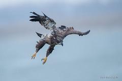 Predator in action (Earl Reinink) Tags: bird animal wildlife nature earl reinink earlreinink winter raptor predator diving aeudratdza eagle baldeagle