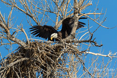Female Bald Eagle returns to the nest - 25 of 29