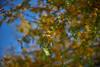 sPRING gOLD 2 (wNG555) Tags: 2018 phoenix flora spring konicahexanonar40mmf18 ilce7m2 a7ii fav25 arizona fav50