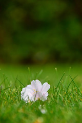 In a new and unexpected place (James_D_Images) Tags: spring fallen flower cherry blossom white green grass hedge bokeh