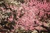 Ume   ---Red plum--- (Teruhide Tomori) Tags: kyoto japan japon spring flower ume plum tree kyotoimperialpark blossom 春 京都 日本 京都御苑 梅 樹木