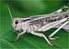 Migratory locust (Locusta migratoria) (Foto Martien) Tags: migratorylocust europesetreksprinkhaan europäischewanderheuschrecke criquetmigrateur langostamigratoria саранчаперелётная 飞蝗 locustamigratoria grasshopper sprinkhaan acrididae veldsprinkhaan hopper macro macrophoto macrofoto macroopname minoltamacro100mm28mm sonyilca77m2 sonyalpha772 alpha a77m2 fotomartien martienuiterweerd