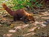 Ring-Tailed Mongoose (Galidia elegans) from Madagascar (Travel to Eat) Tags: wildlife wild ringtailedmongoose madagascar mongoose