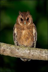 Jamaican Owl (Pseudoscops grammicus) (Glenn Bartley - www.glennbartley.com) Tags: animal animalia animals aves avian bird birdwatching birds caribbean glennbartley jamaica jamaicanowlpseudoscopsgrammicus nature neotropical wildlife