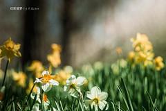 在童话里的花 (幻影留梦) Tags: daffodil flower yellow white genus narcissus pseudonarcissus lent lily spring bloom gibbs garden georgia atlanta sony sal70400g2 70400mm f456 g ssm telephoto zoom a580