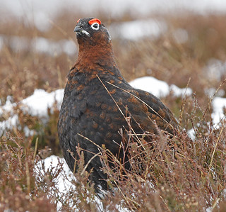 RED GROUSE ....Cock....Scotland.