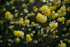 DSC09165-2 (shoji imamura) Tags: edgeworthia chrysantha yellow spring japan tokyo machida yakushiike flower tree garden wood
