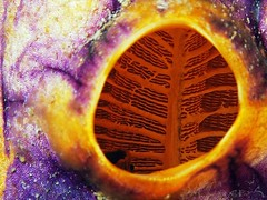 Tunicates (chaloklum) Tags: tunicates romblon philippinen philippines ocean olympus insel underwaterphotography unterwasser undersea underwater unterwasserfotografie sea scuba scubadiving asia diving dive fish meer makro macro m