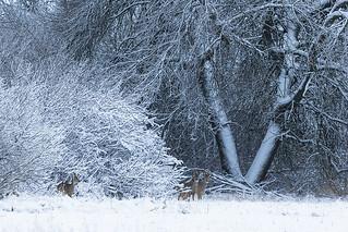 Watchful Roe bucks
