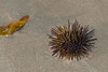 Gold-Fingers-1 (Mim Basil) Tags: sea urchin
