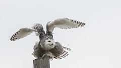 Still snowy (kallo39) Tags: snowyowl owl barred post takeoff