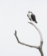 2018 Birds of the Mississippi River Delta (22) (maskirovka77) Tags: saintbernard louisiana unitedstates us river delta bird osprey fisheagle baldeagle shrike pelican egret