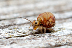 Katianna sp.3 (nr schotti) (AndyMarquis105) Tags: collembola