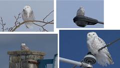 Snowies 2018 Collection (Natimages) Tags: snowyowl owl winter winterbird birdofprey whitebird wildlife wildbird