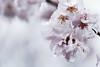 cherry blossoms in rain (N.sino) Tags: sigma sd15 70mmmacro cherry cherryblossom rain raindrop sakura 桜 河津桜 桜花 雫 雨 神代植物公園 foveon
